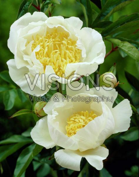 Paeonia Cheddar Royal