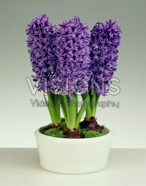 Hyacinthus Blue Jacket