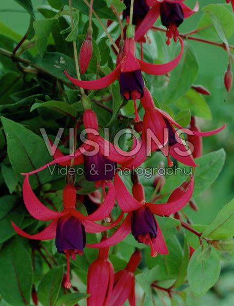 Fuchsia Charming