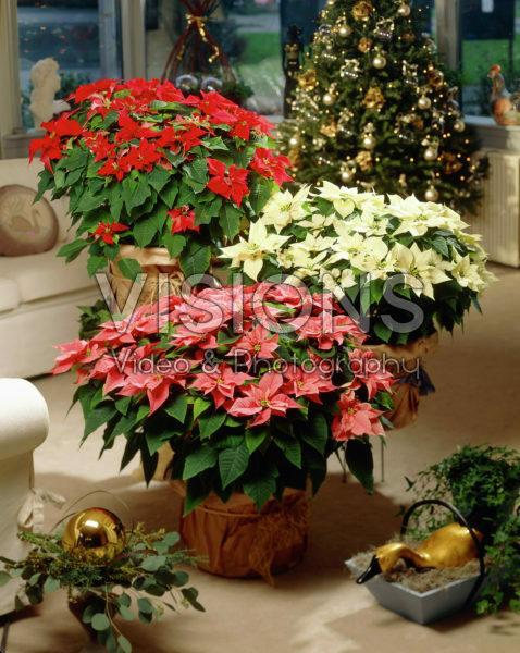 Euphorbia pulcherrima mixed