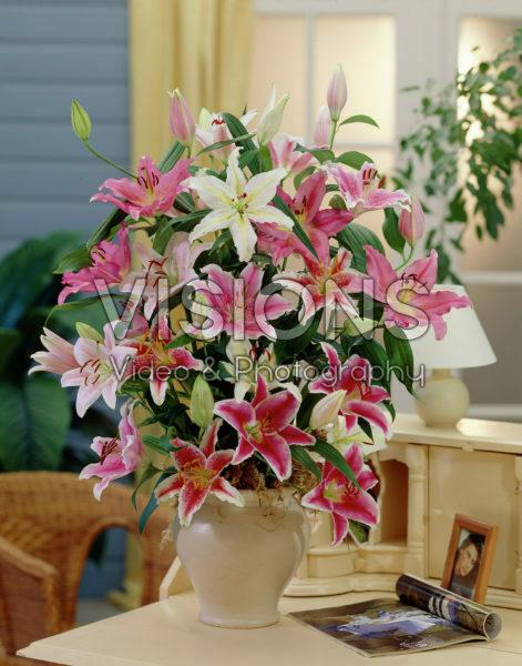 Lilium oriental mixed