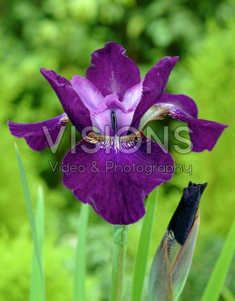 Iris sibirica Hubbard