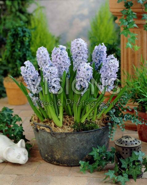Hyacinthus Koh-I-Noor