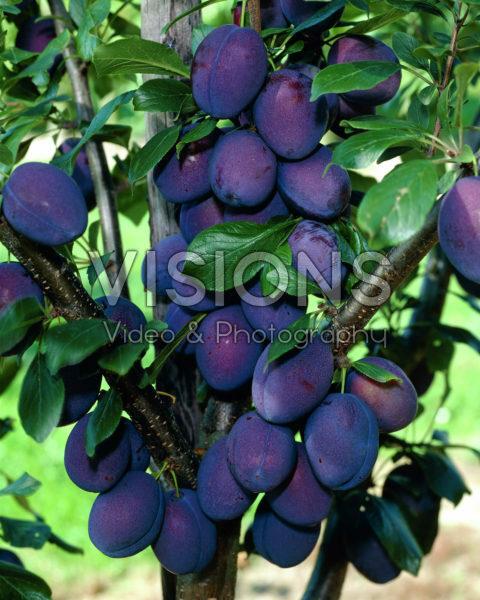 Prunus domestica Valour