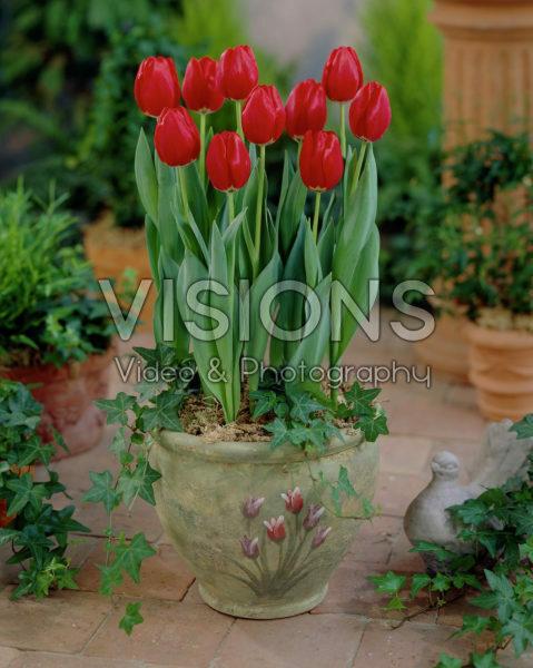 Tulipa Prominence