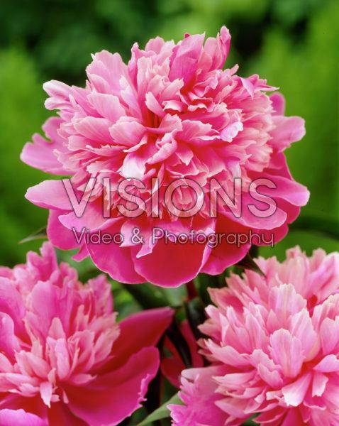 Paeonia Rose d'Amour