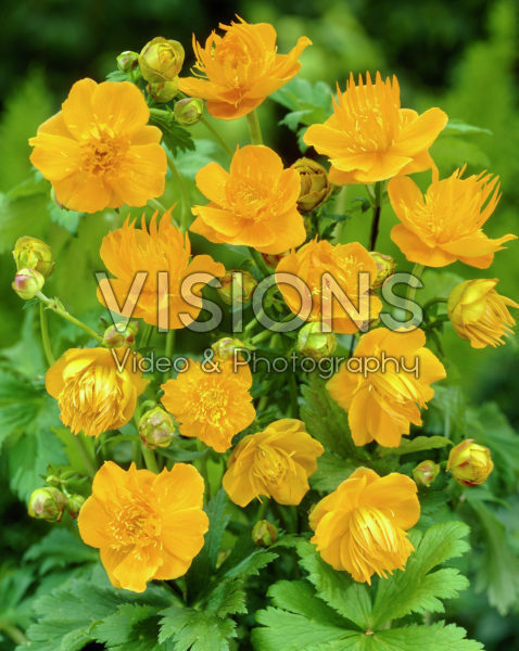 Trollius Commander in Chief