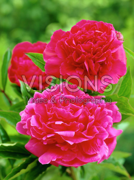 Paeonia Bunker Hill