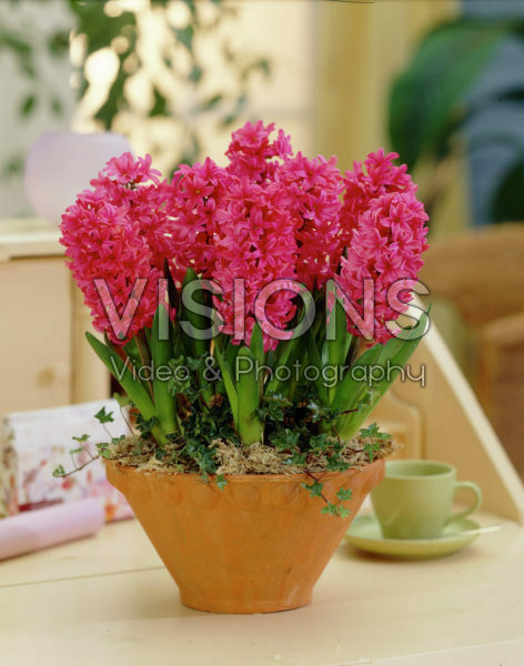 Hyacinthus Nereus