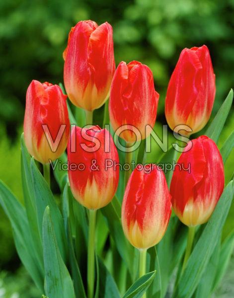 Tulipa Montevideo