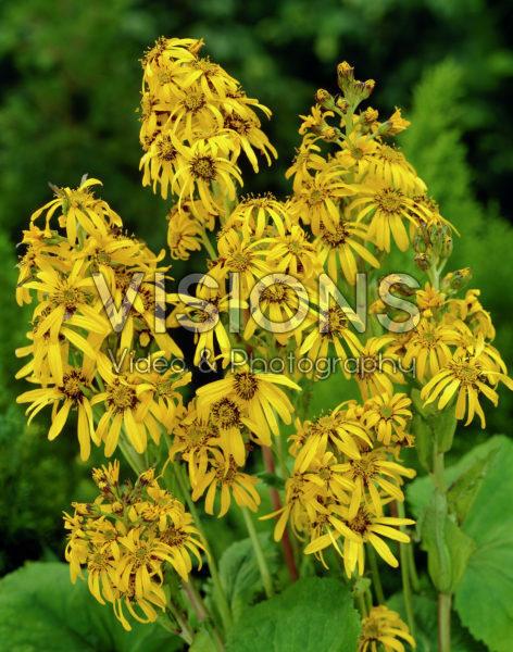 Ligularia hessei Gregynog Gold