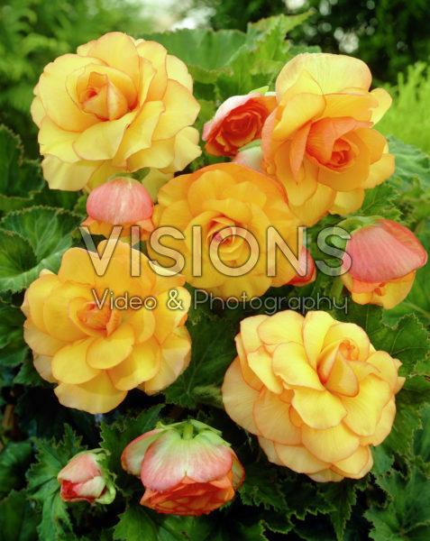 Begonia Picotee yellow
