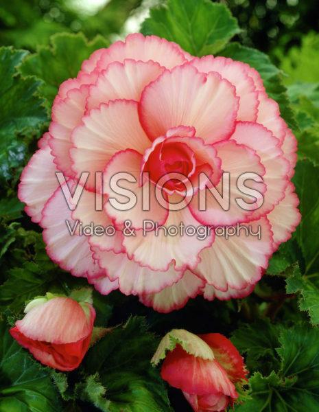 Begonia Picotee white / red