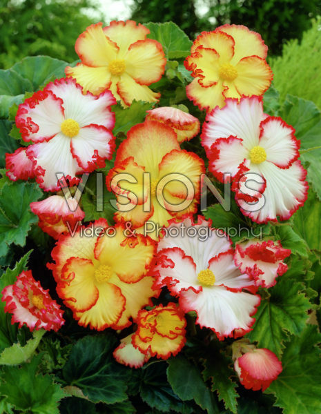 Begonia Marginata mixed