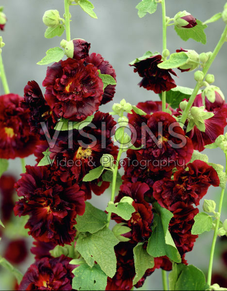 Alcea rosea Chater's Double purple