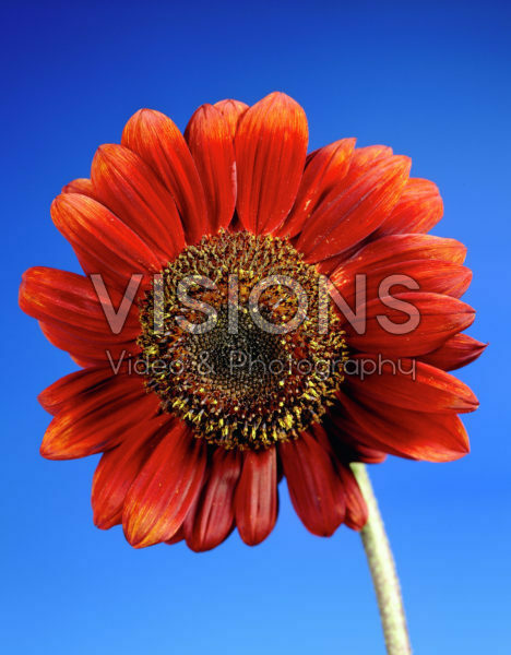 Helianthus red
