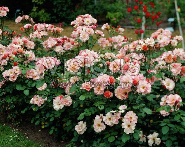 Rosa Mullard Jubilee