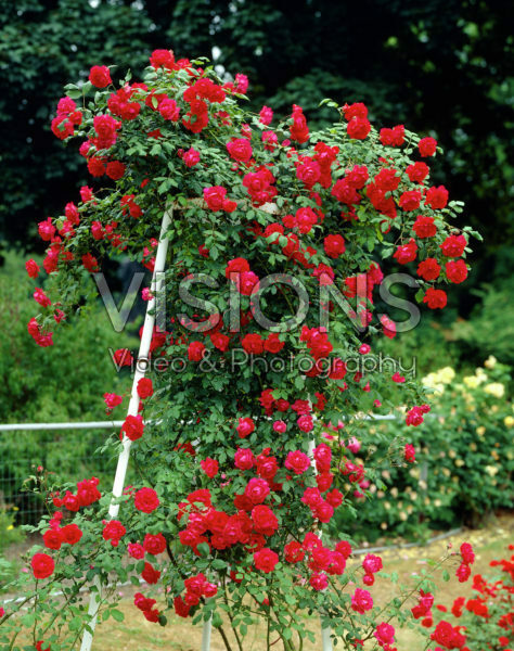 Rosa Paul's Scarlet Climber
