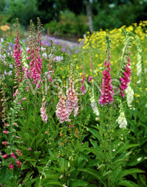 Digitalis purpurea mixed