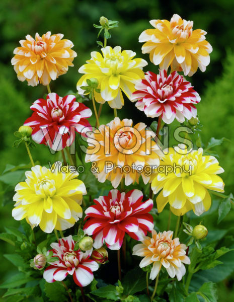 Dahlia mixed