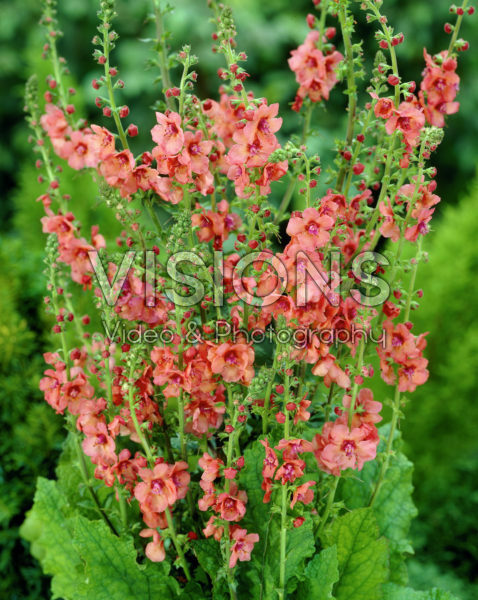 Verbascum Royal Highland