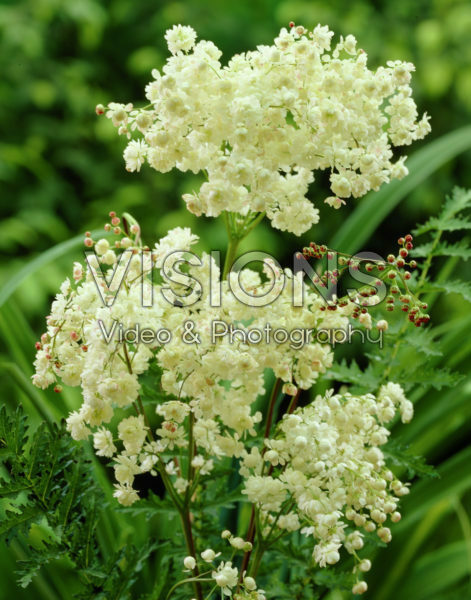 Filipendula vulgaris Plena
