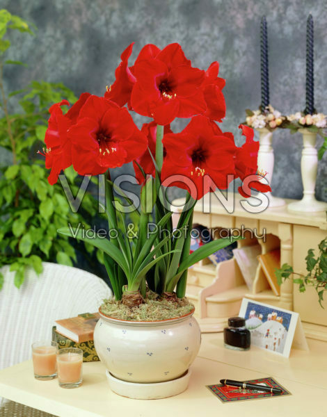 Hippeastrum Red Lion