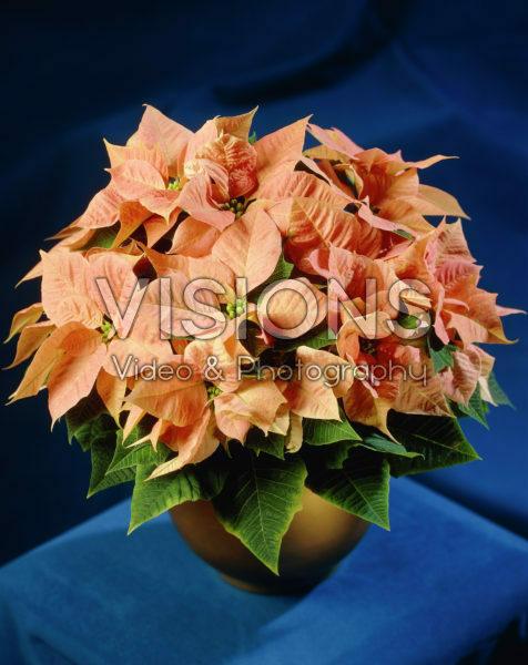 Euphorbia pulcherrima pink
