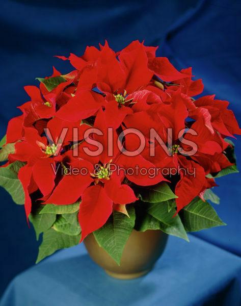 Euphorbia pulcherrima red
