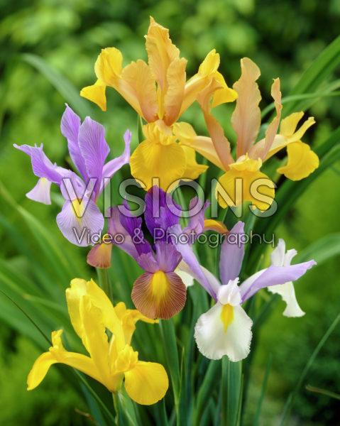 Iris mixed