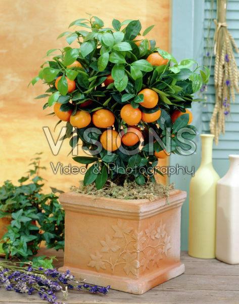 Citrofortunella Mandarin