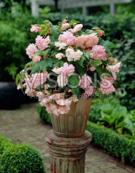 Begonia Olympic pink