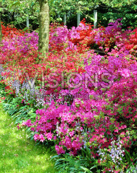 Rhododendron mixed