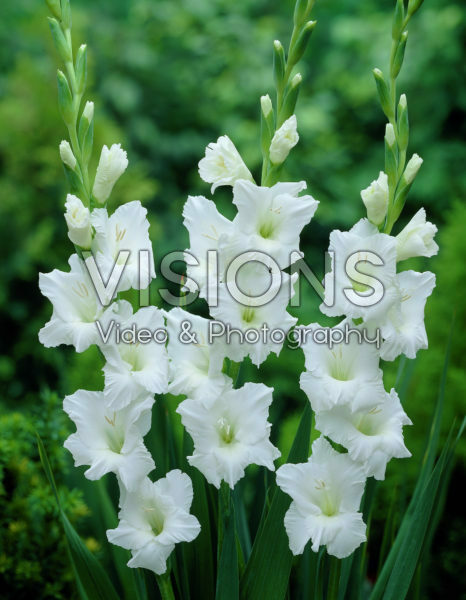 Gladiolus Snowscape