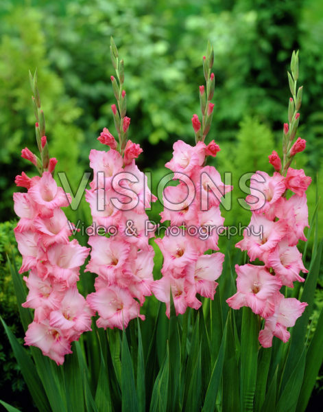 Gladiolus Play Time