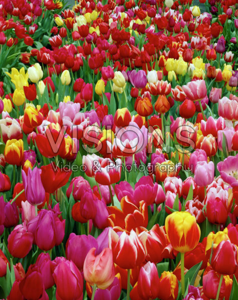 Tulipa mixed