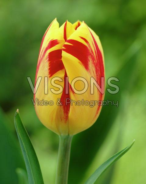 Tulipa Washington