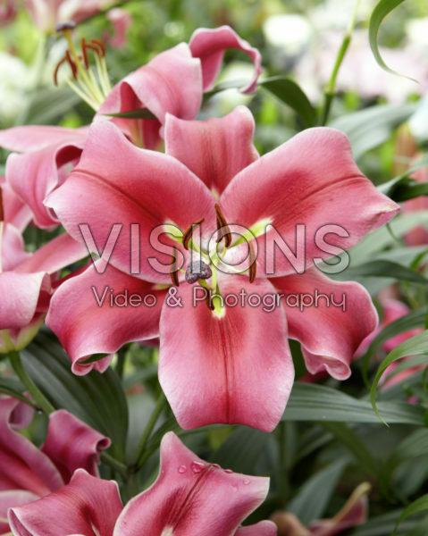Lilium Esta Bonita