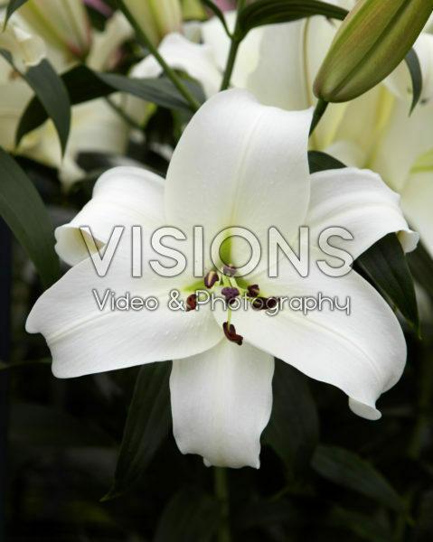 Lilium wit