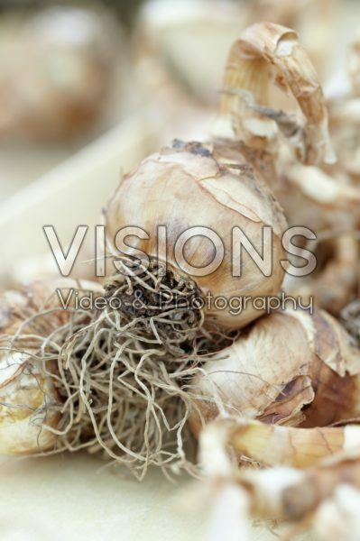 Narcissus bulbs