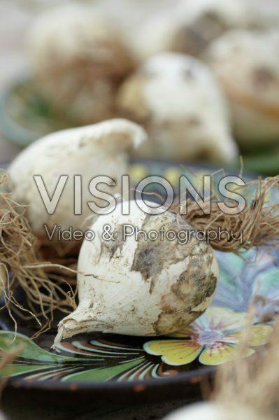Allium christophii bulbs