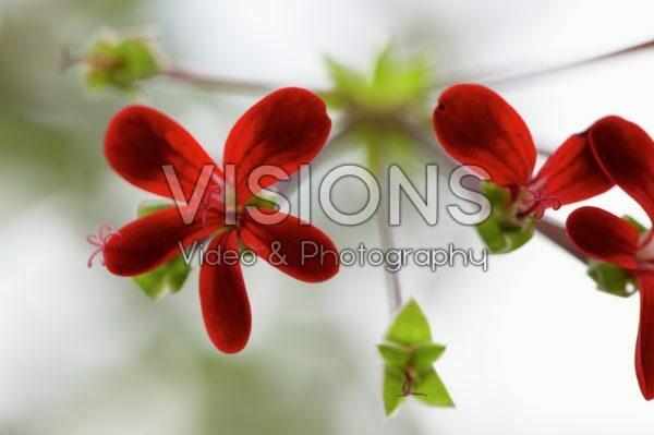 Pelargonium ardens