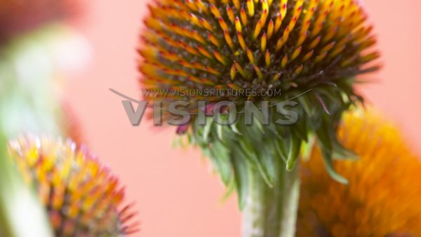 VIDEO Echinacea