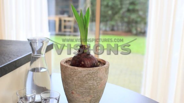 VIDEO Planting Hippeastrum
