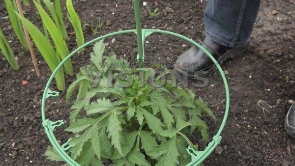 VIDEO Planting Dahlia