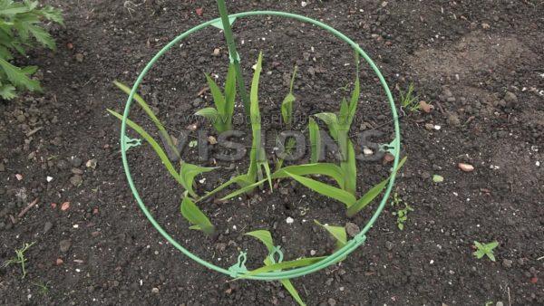 VIDEO Planting Gladiolus