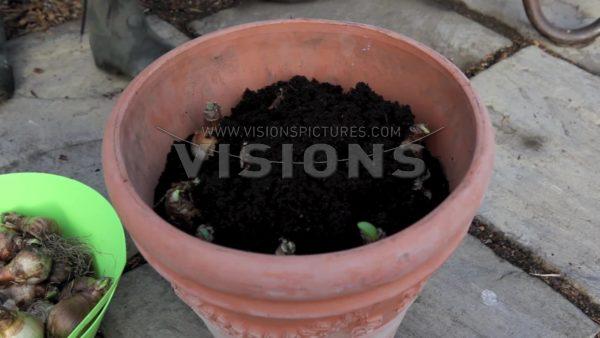 VIDEO Planting daffodils on pot