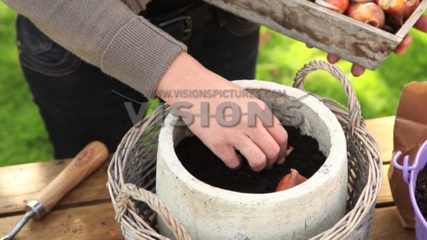 VIDEO Planting flower bulbs in pots