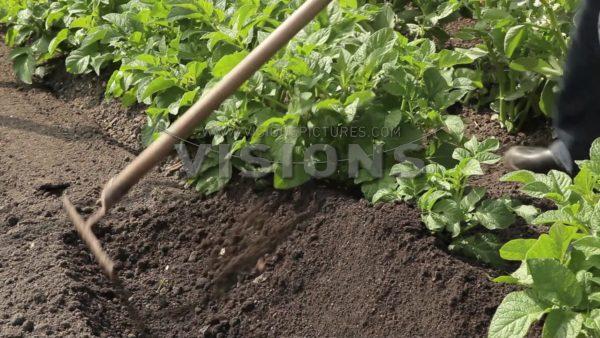 VIDEO Growing potatoes