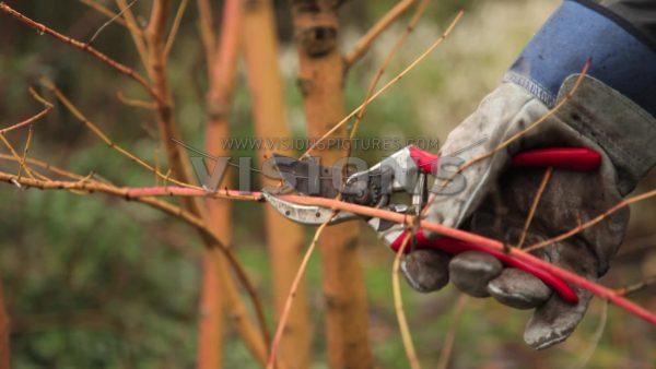 VIDEO Pruning Cornus